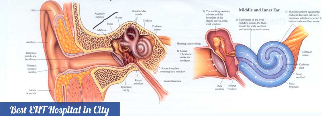 Ear rg ent hospital gurgaon rg ent hospital biological diagram of the human ear ccuart Choice Image